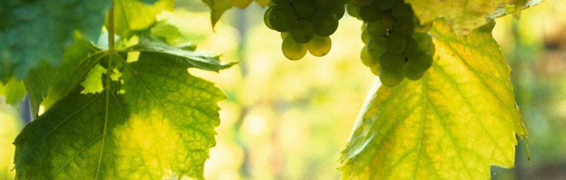 Weintraube © Österreich Werbung, Fotograf: Bartl