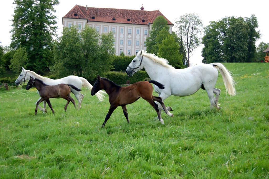 Steiermark Tourismus © Spanische Hofreitschule - Bundesgestüt Piber