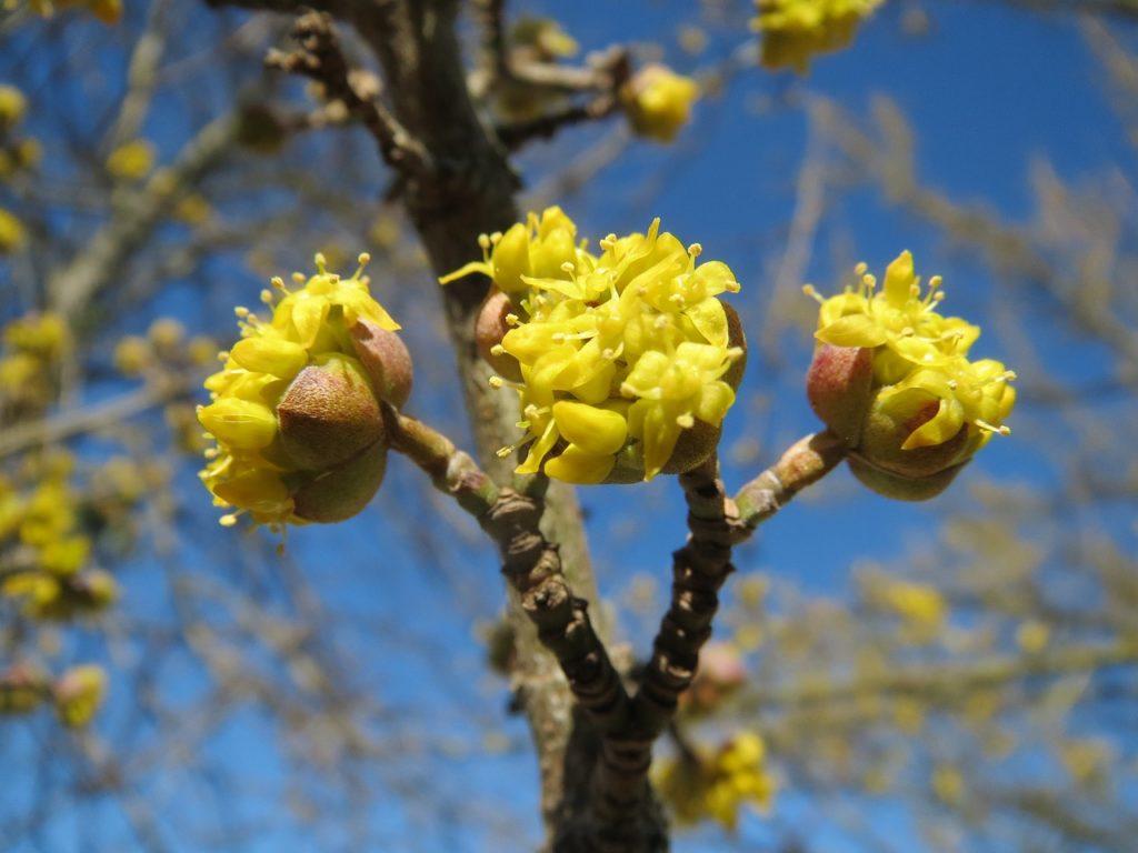 Kornellkirsche in Blüte